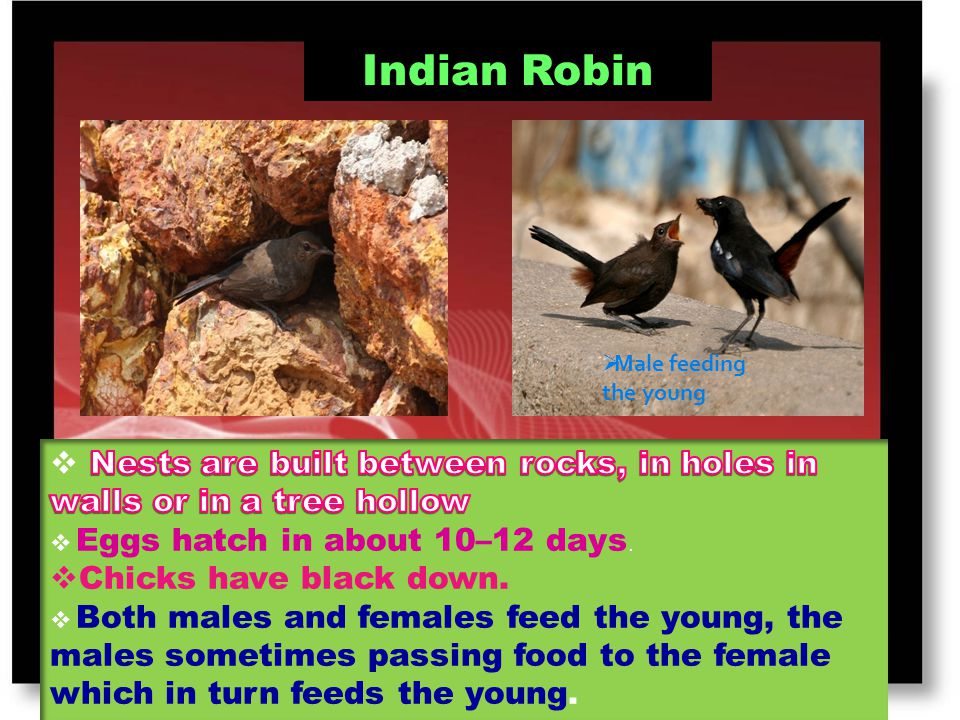 Indian Robin Male feeding the young. Nests are built between rocks, in holes in walls or in a tree hollow.