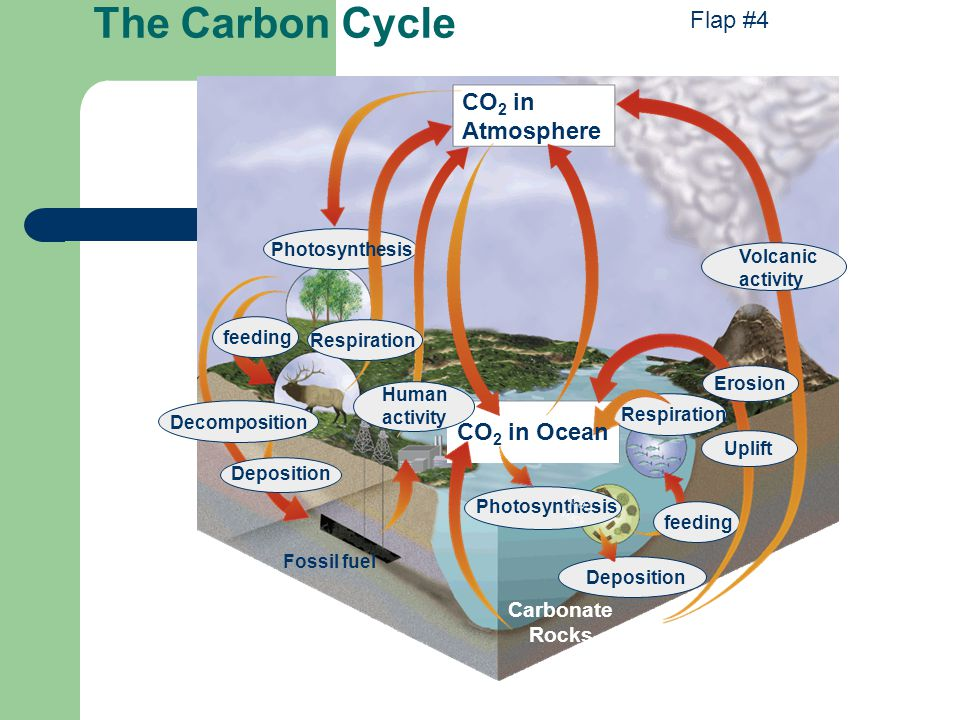 The Carbon Cycle Flap #4 CO2 in Atmosphere CO2 in Ocean