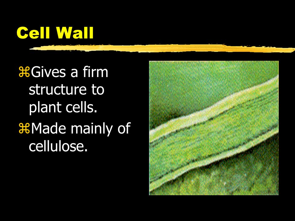 Cell Wall Gives a firm structure to plant cells.