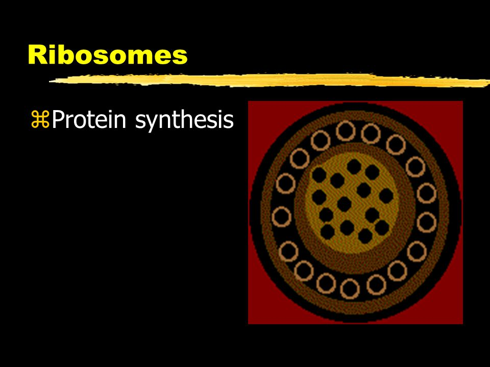 Ribosomes Protein synthesis
