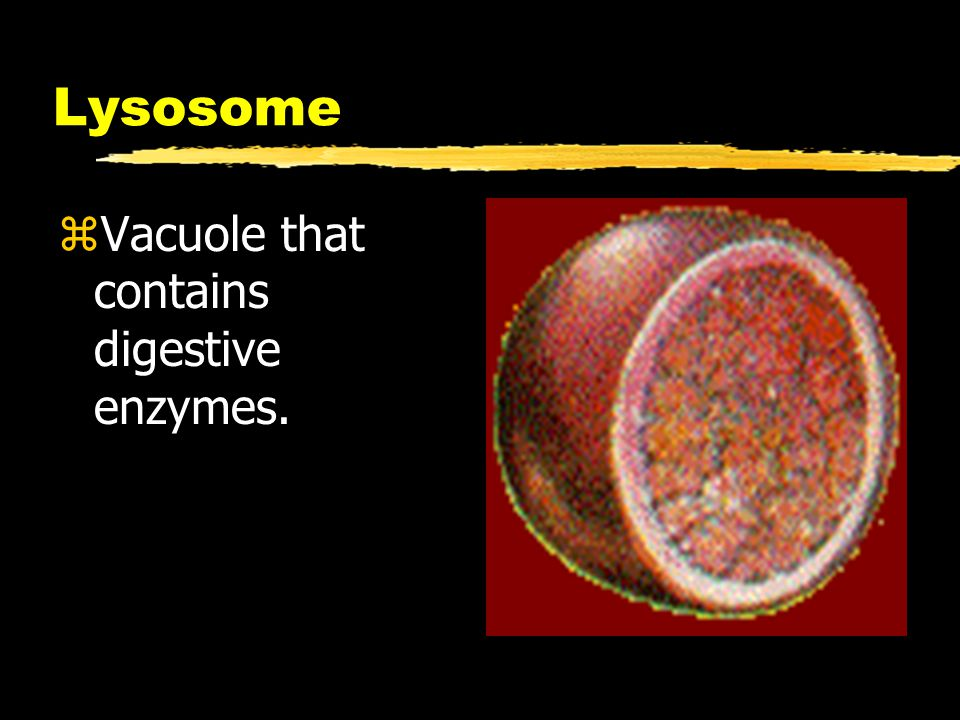 Lysosome Vacuole that contains digestive enzymes.