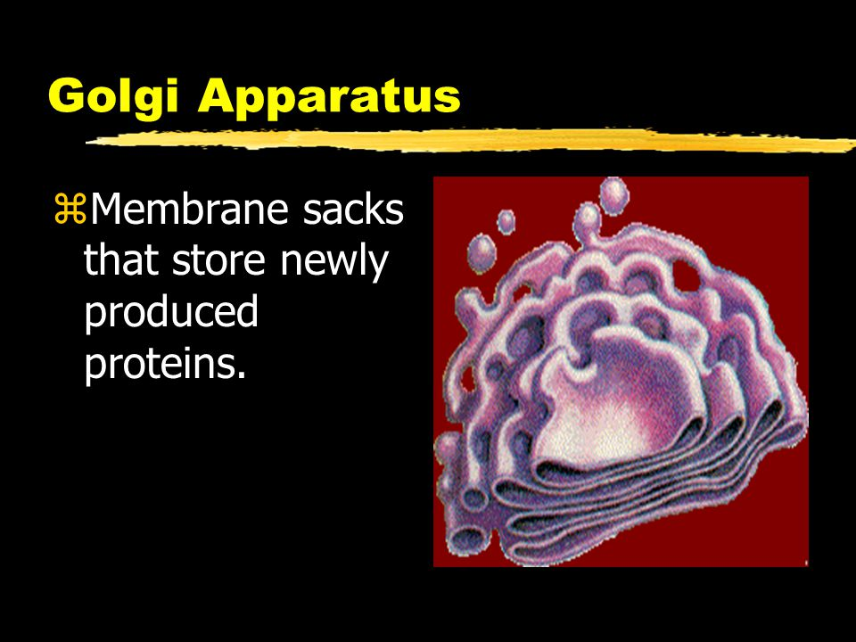 Golgi Apparatus Membrane sacks that store newly produced proteins.