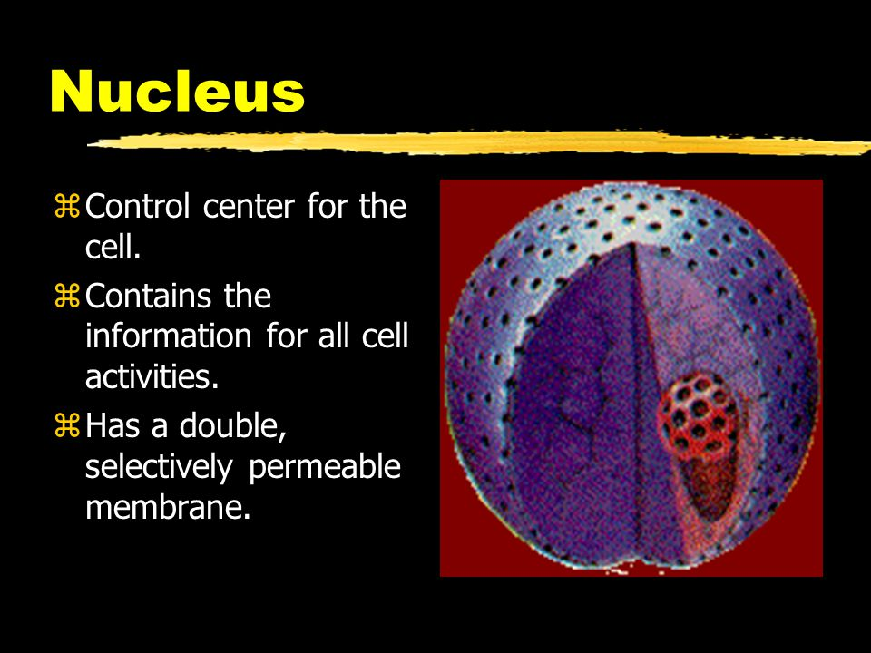 Nucleus Control center for the cell.