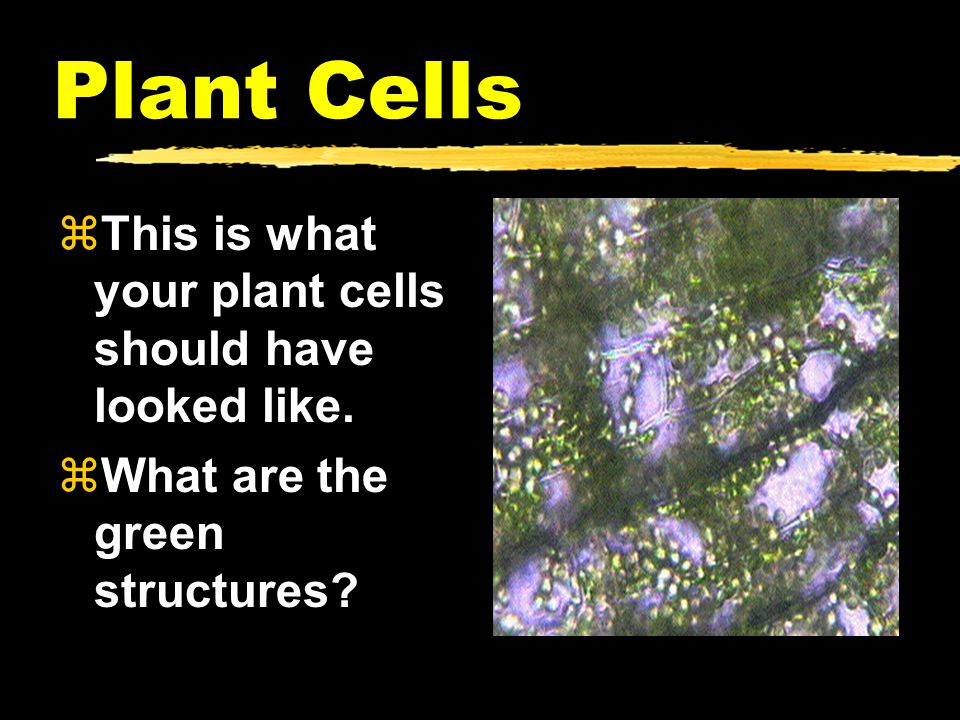 Plant Cells This is what your plant cells should have looked like.