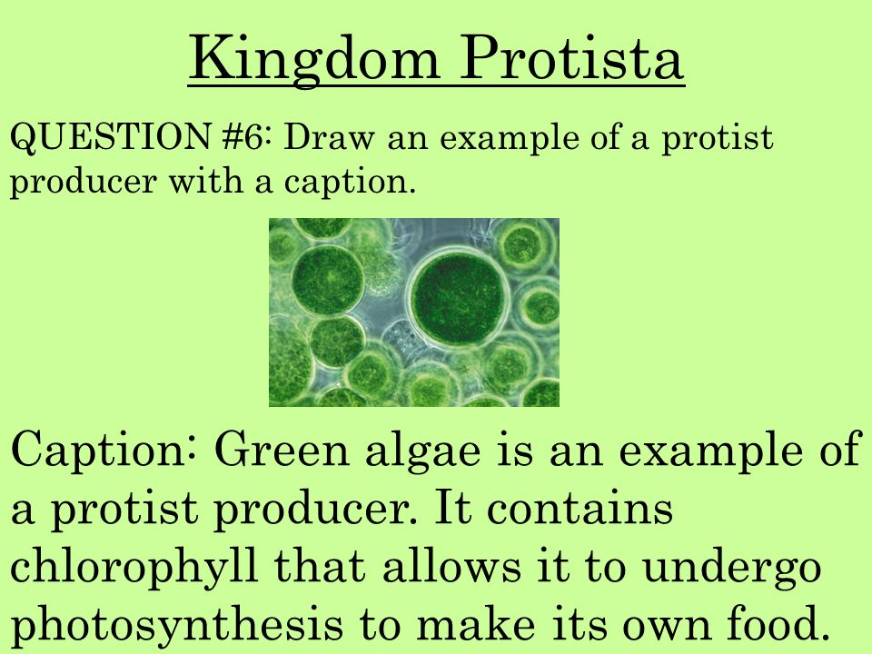 Kingdom Protista QUESTION #6: Draw an example of a protist producer with a caption.