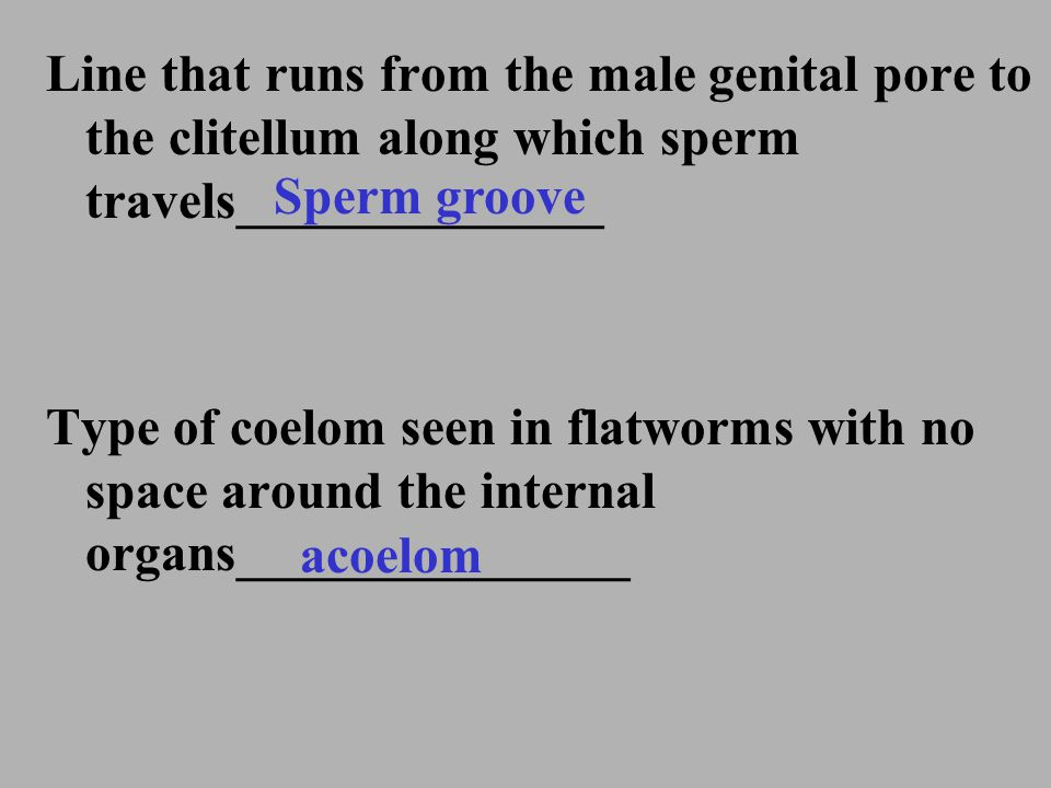 Line that runs from the male genital pore to the clitellum along which sperm travels______________