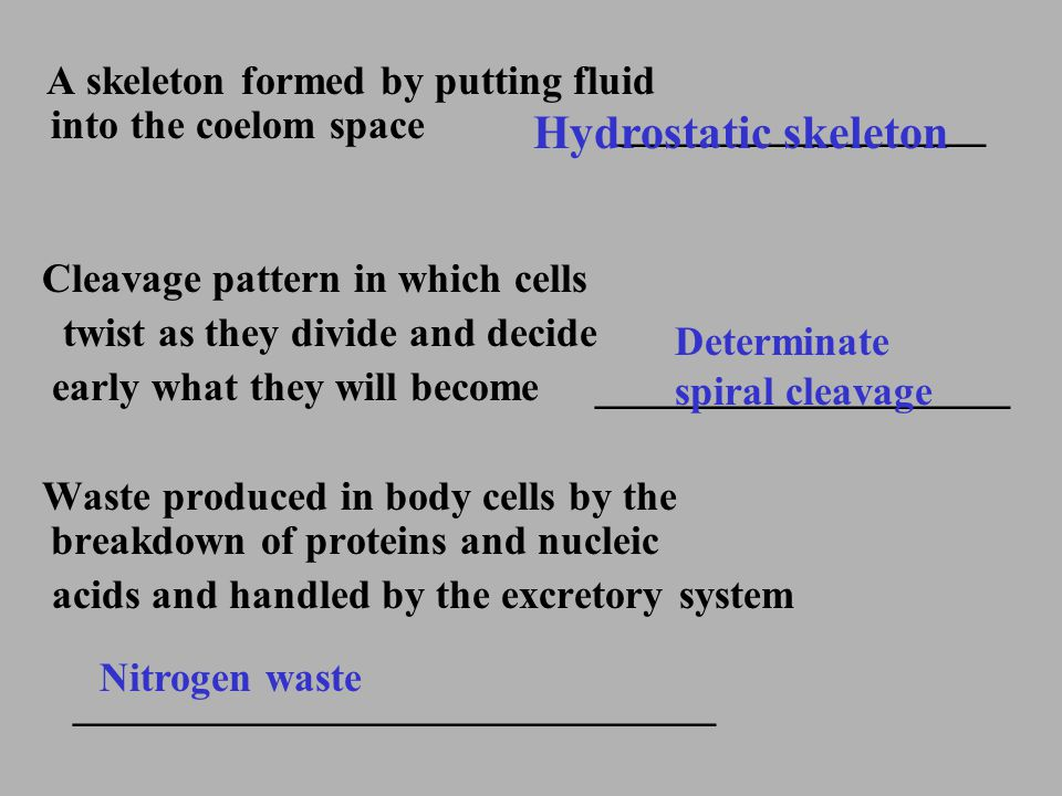 Hydrostatic skeleton Cleavage pattern in which cells