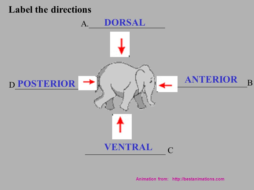 Label the directions DORSAL ANTERIOR POSTERIOR VENTRAL