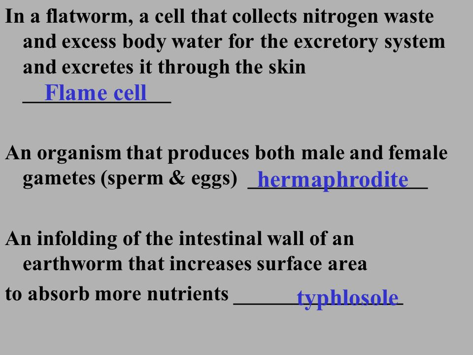 Flame cell hermaphrodite typhlosole