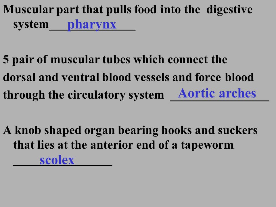 pharynx Aortic arches scolex