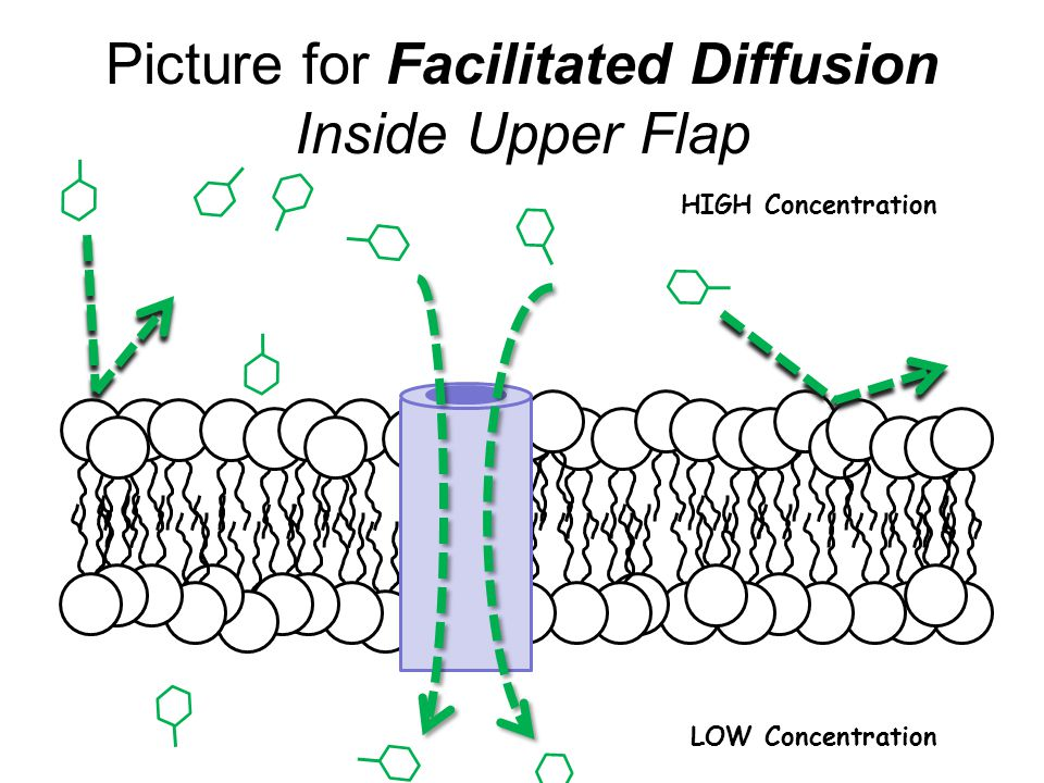Picture for Facilitated Diffusion Inside Upper Flap