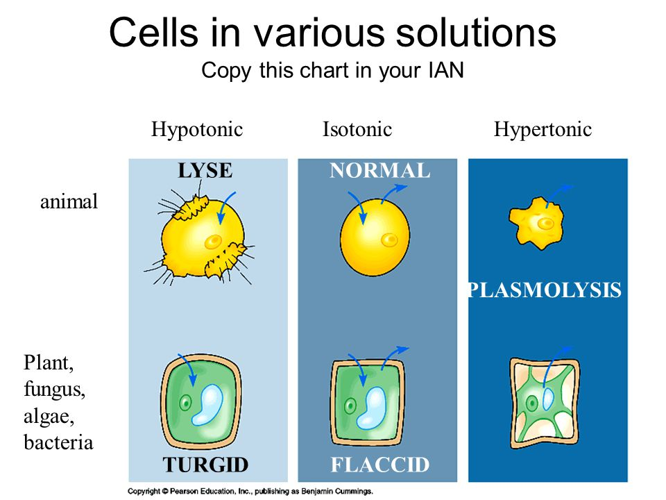 Cells in various solutions Copy this chart in your IAN