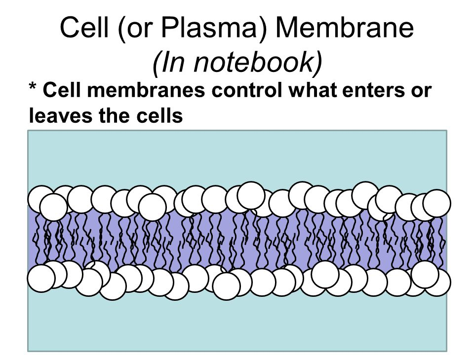 Cell (or Plasma) Membrane (In notebook)
