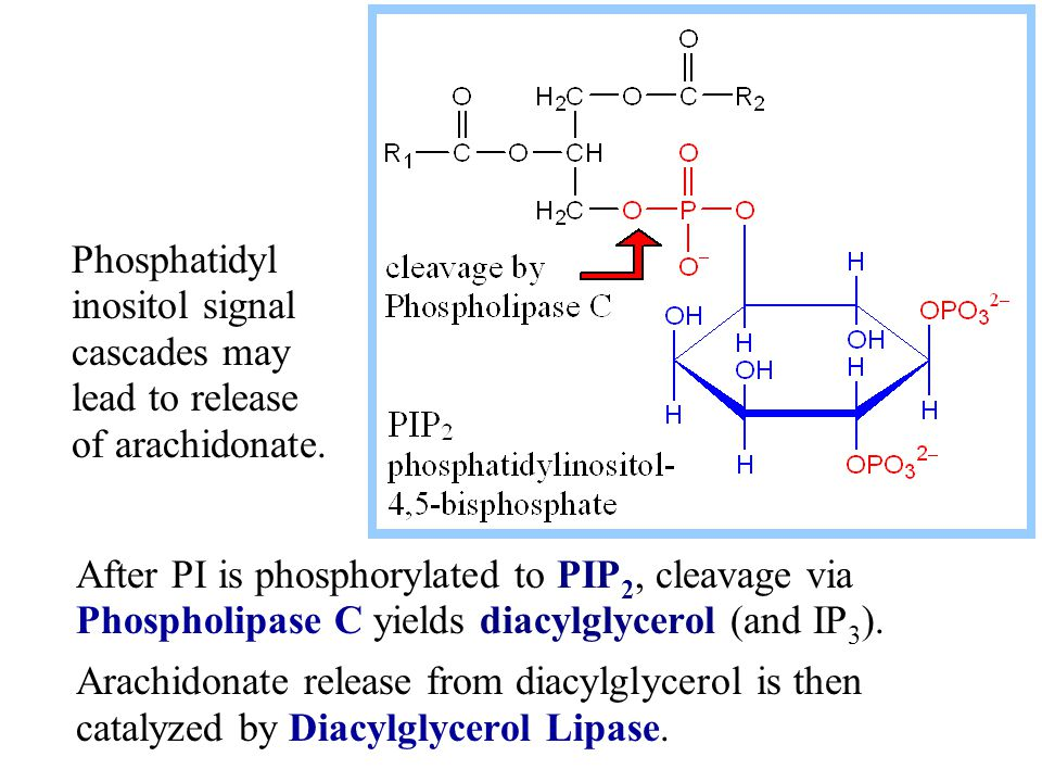 Phosphatidyl inositol signal cascades may lead to release of arachidonate.