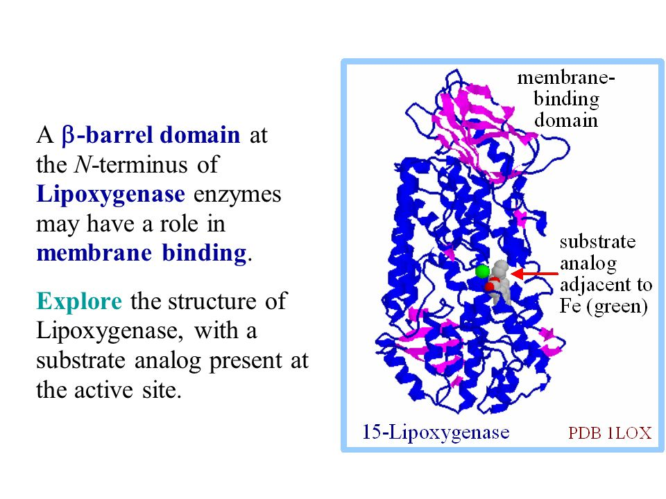 A b-barrel domain at the N-terminus of Lipoxygenase enzymes may have a role in membrane binding.