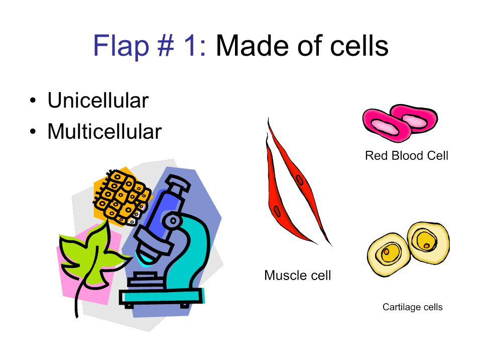 Flap # 1: Made of cells Unicellular Multicellular