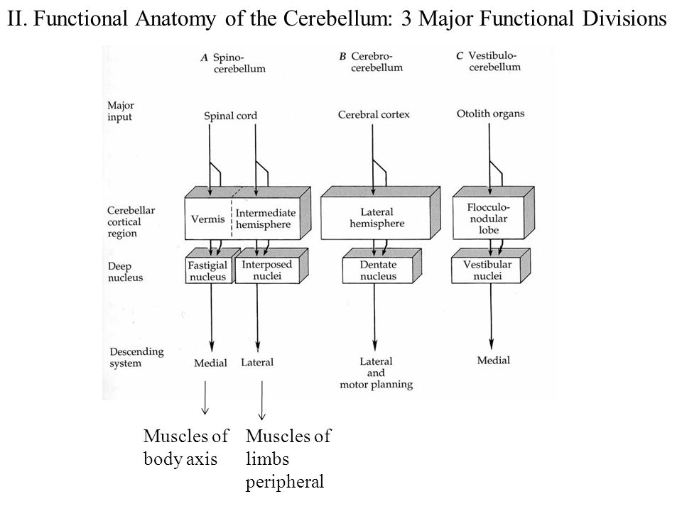 II. Functional Anatomy of the Cerebellum: 3 Major Functional Divisions