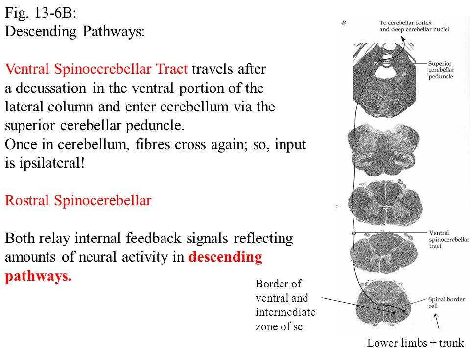Ventral Spinocerebellar Tract travels after