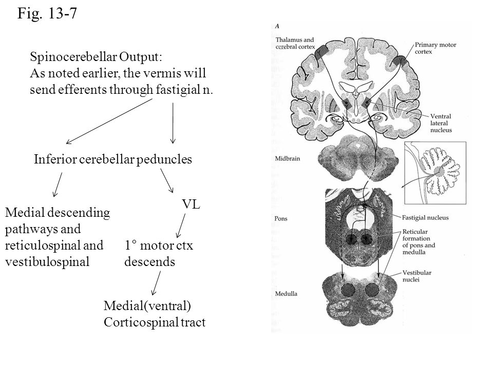 Fig. 13-7 Spinocerebellar Output: As noted earlier, the vermis will