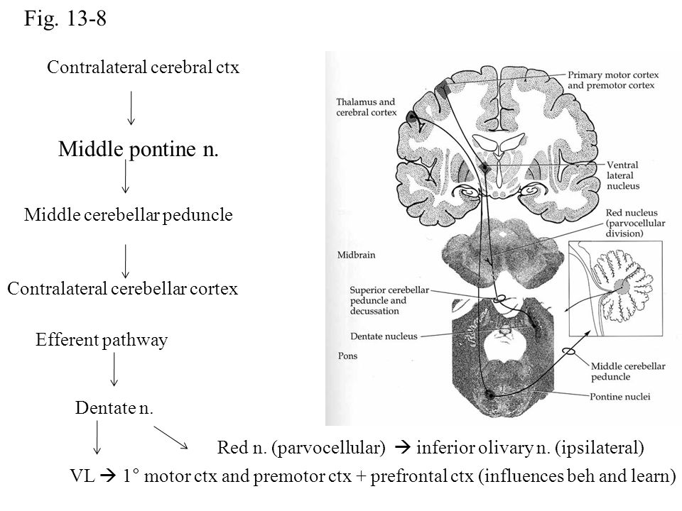 Fig. 13-8 Middle pontine n. Contralateral cerebral ctx