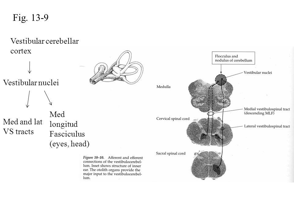 Fig. 13-9 Vestibular cerebellar cortex Vestibular nuclei Med longitud