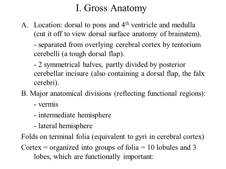 I. Gross Anatomy Location: dorsal to pons and 4th ventricle and medulla (cut it off to view dorsal surface anatomy of brainstem).