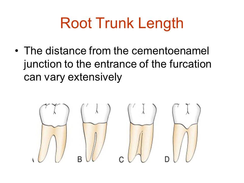 Root Trunk Length The distance from the cementoenamel junction to the entrance of the furcation can vary extensively.