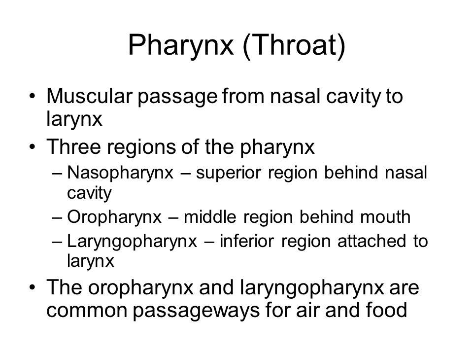 Pharynx (Throat) Muscular passage from nasal cavity to larynx