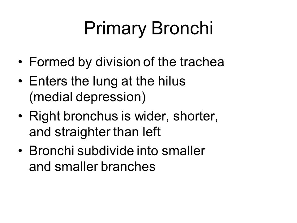Primary Bronchi Formed by division of the trachea