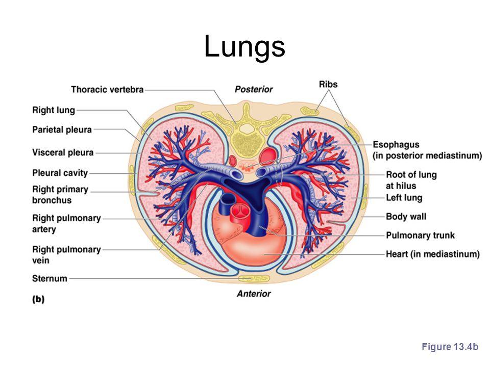 Lungs Figure 13.4b