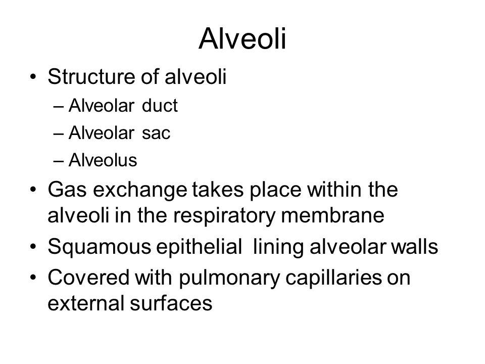 Alveoli Structure of alveoli