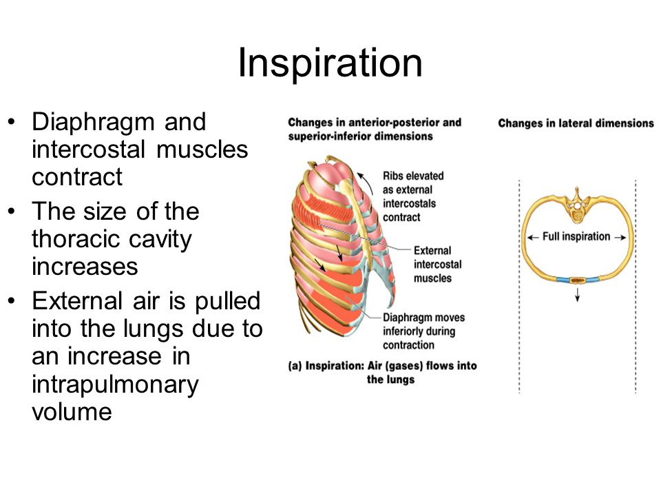 Inspiration Diaphragm and intercostal muscles contract