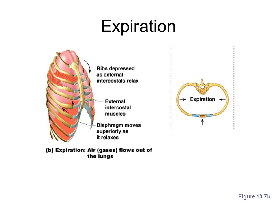 Expiration Figure 13.7b