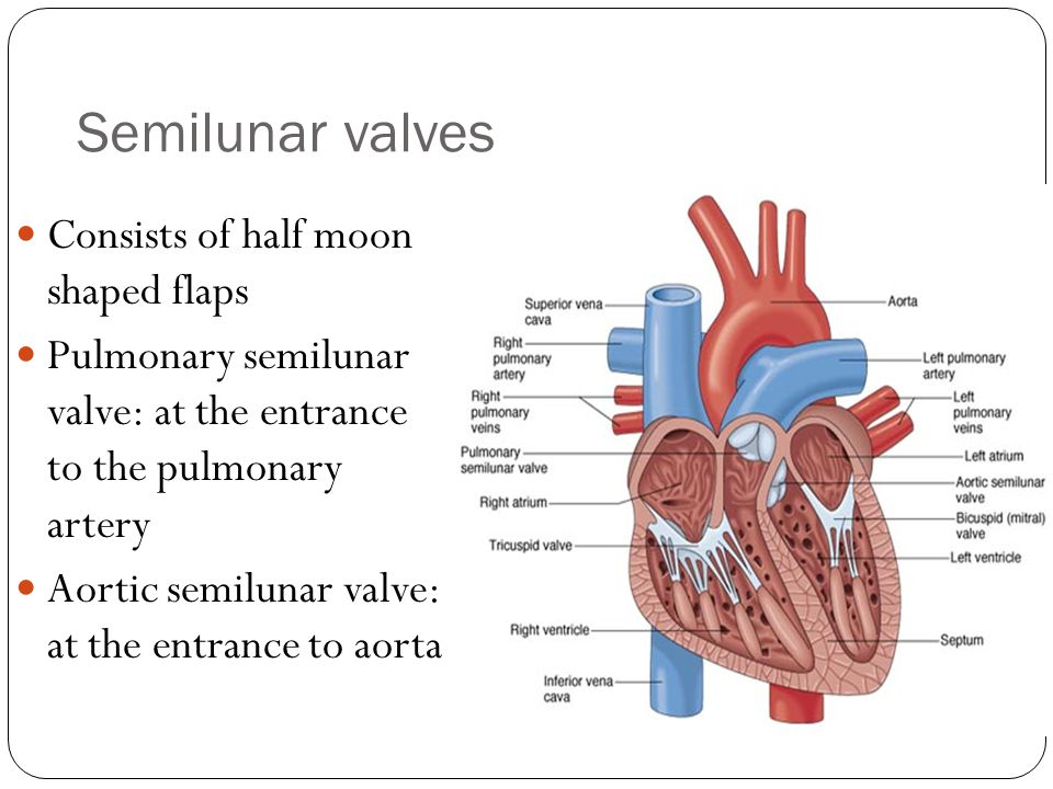 Semilunar valves Consists of half moon shaped flaps