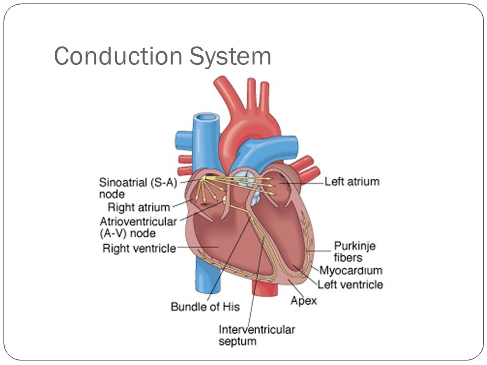 Conduction System