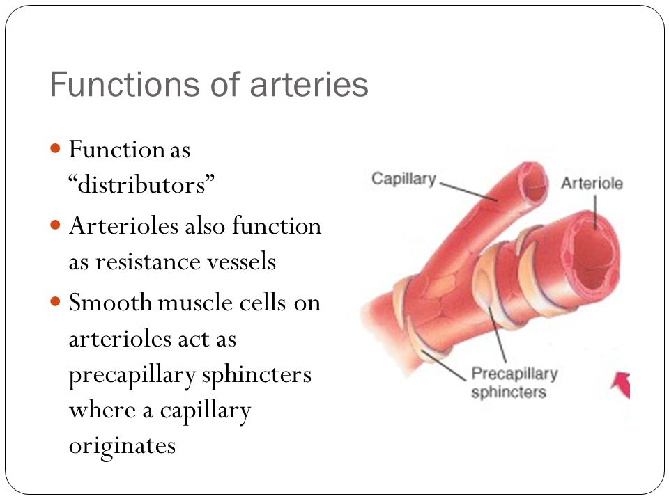 Functions of arteries Function as distributors