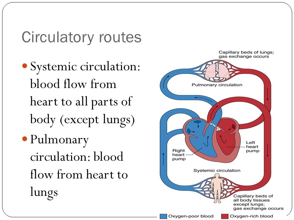 Circulatory routes Systemic circulation: blood flow from heart to all parts of body (except lungs)