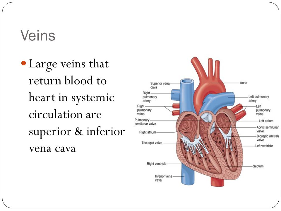 Veins Large veins that return blood to heart in systemic circulation are superior & inferior vena cava.