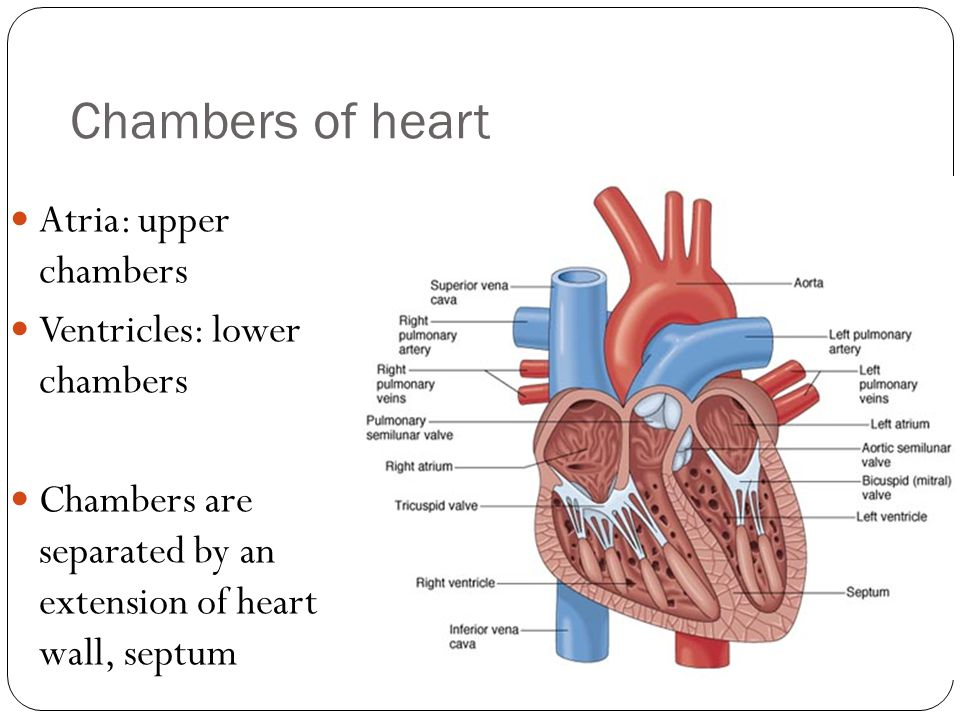 Chambers of heart Atria: upper chambers Ventricles: lower chambers