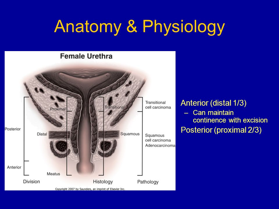 Anatomy & Physiology Anterior (distal 1/3) Posterior (proximal 2/3)