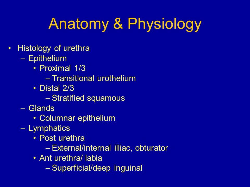 Anatomy & Physiology Histology of urethra Epithelium Proximal 1/3