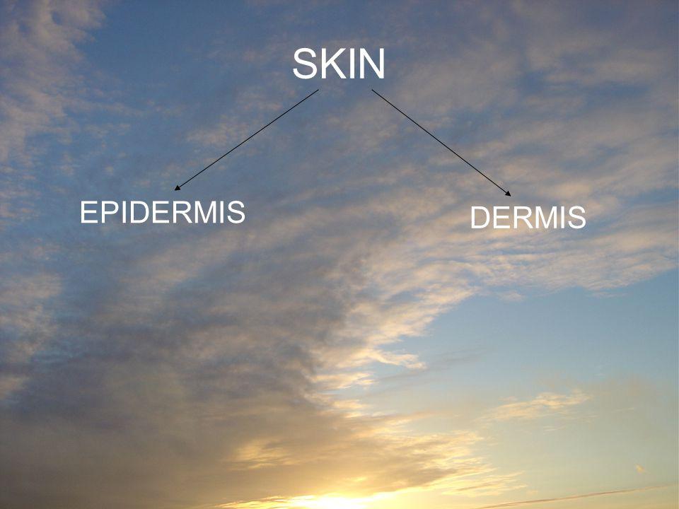 SKIN EPIDERMIS DERMIS