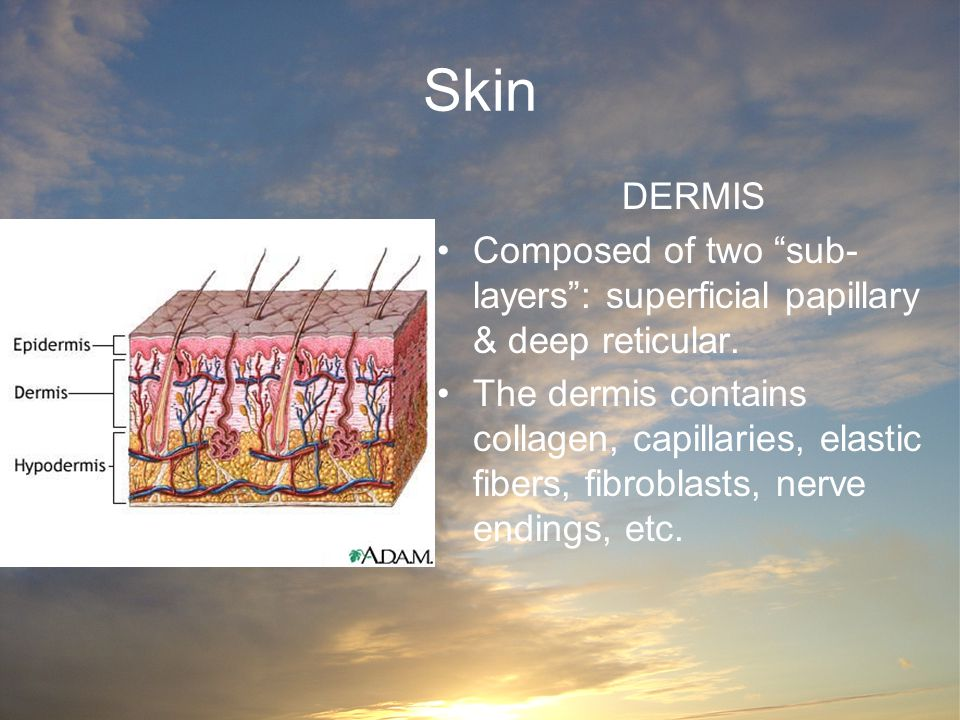 Skin DERMIS. Composed of two sub-layers : superficial papillary & deep reticular.