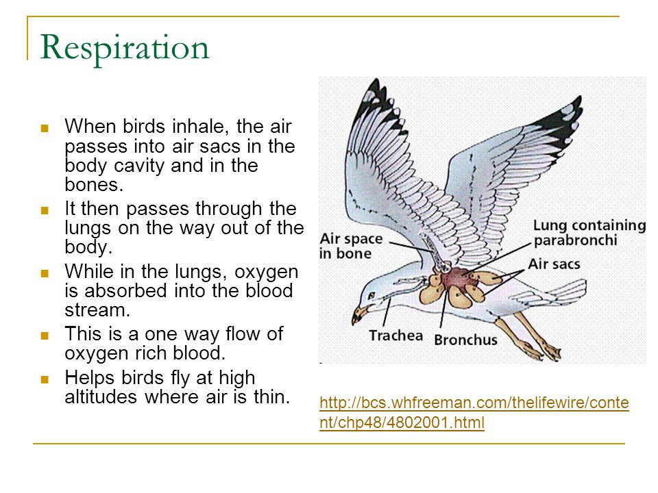 Respiration When birds inhale, the air passes into air sacs in the body cavity and in the bones.