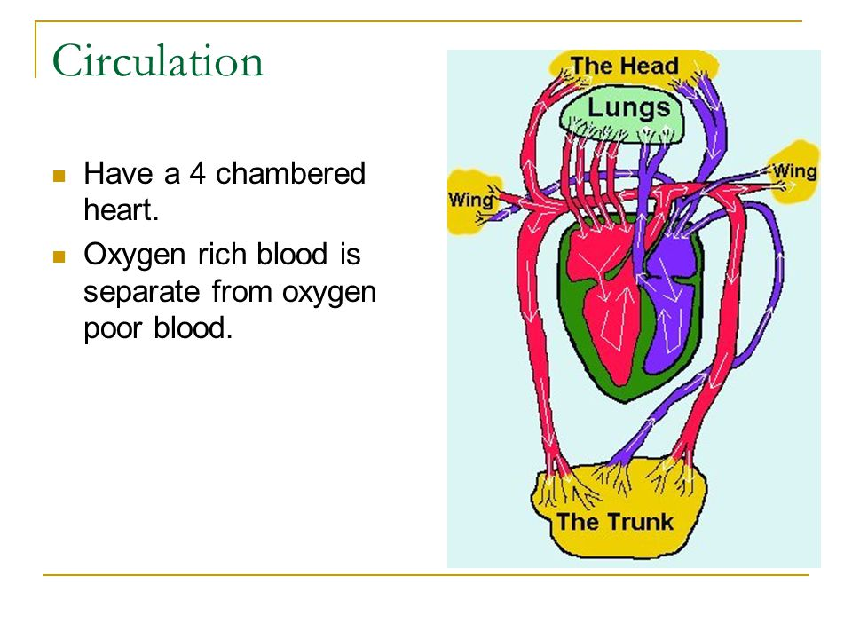 Circulation Have a 4 chambered heart.