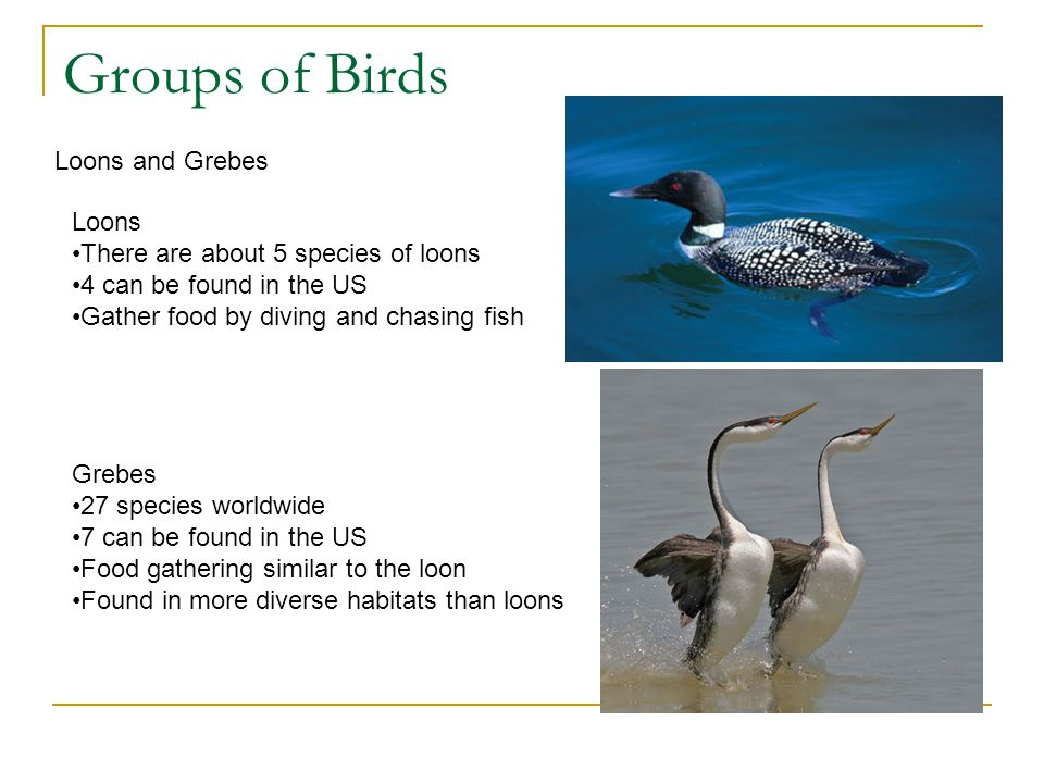 Groups of Birds Loons and Grebes Loons