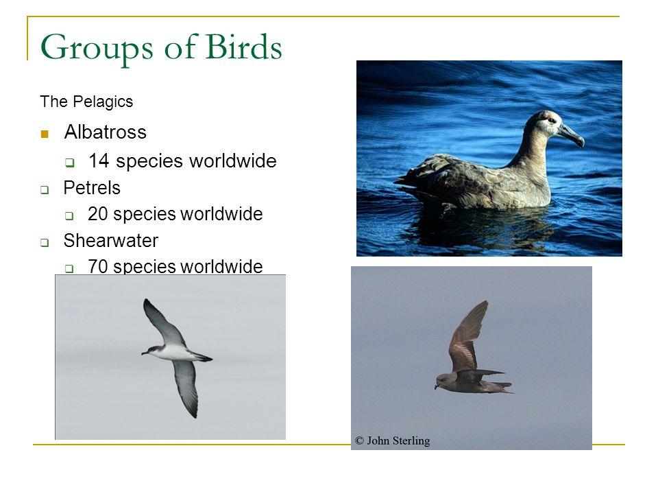Groups of Birds Albatross 14 species worldwide Petrels