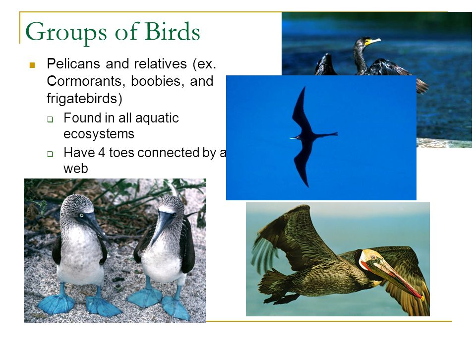 Groups of Birds Pelicans and relatives (ex. Cormorants, boobies, and frigatebirds) Found in all aquatic ecosystems.