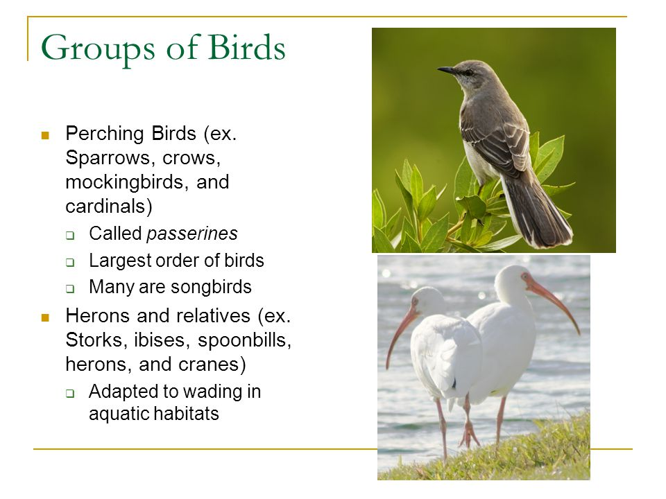 Groups of Birds Perching Birds (ex. Sparrows, crows, mockingbirds, and cardinals) Called passerines.