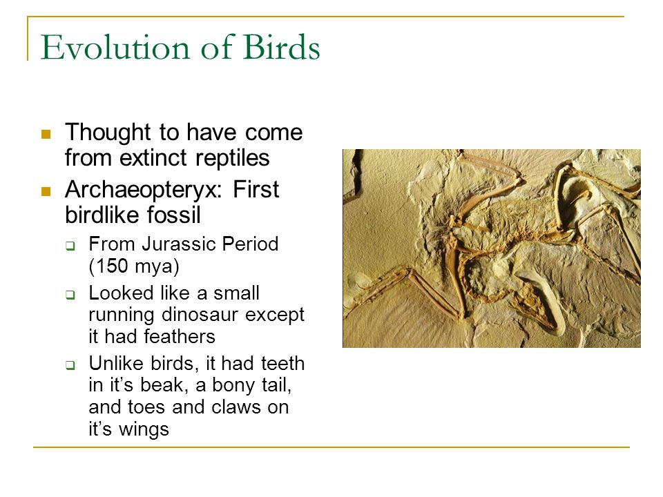 Evolution of Birds Thought to have come from extinct reptiles
